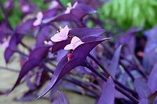 Tradescantia pallida Purple Heart Plant out/indoor Purple Wandering Jew  10 pcs