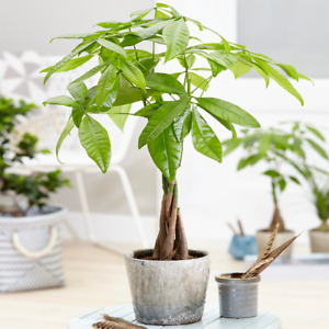 Pachira Aquatica Tree - Live Premium Potted Indoor Plant Braided Stem 12cm Pot
