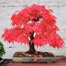 50 seeds of mini Japanese Red Maple tree bonsai home garden acer