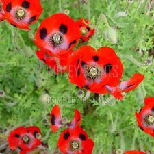 LADYBIRD POPPY 2000 SEEDS (PAPAVER COMMUTATUM) - easy annual flower