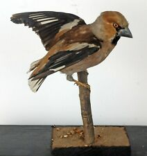 More details for hawfinch