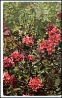 Photochromie AK ca. 1920 Botanik Pflanze Rhododendron