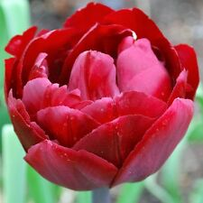 30 x Uncle Tom Tulip Bulbs.Double Late blooms.Purple Dark Red Spring Flowers.