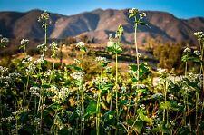 Certified Organic Buckwheat Seeds (~125): Non-GMO Heirloom Packet