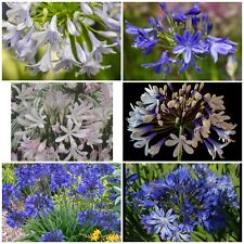 30x Mixed Agapanthus seeds. UK National Collection holders
