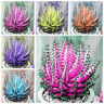 100x Colorful Aloe Vera Seeds Succulent Herbal Bonsai Balcony Garden Plants Dote