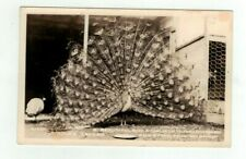 "Antique animal real photo post card ""Peacock on Display Penn's Tavern Oregon"""