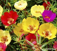 *Portulakröschen Mix* 200+ Samen *Bunter Mix *Portulaca Grandiflora seeds