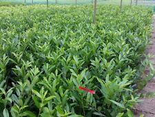 - Kirschlorbeer-Strauchpflanzen