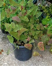 Christia obcordata or Butterfly Plant 10 seeds USA SELLER