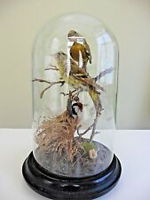 Antique Taxidermy Birds Glass Dome European Goldfinch & Two Greenfinches 1800's!