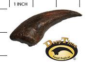 Alioramus Foot Claw - Cast Replica, Dinosaur Claw (SN3)