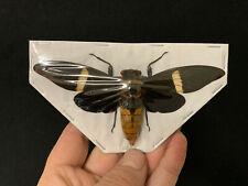 Entomologie Insecte VERY BIG!! Titanacris albipes Femelle A1 étalée!