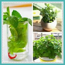 100 /bag PEPPERMINT seeds mint seed superior for herbal tea, has radio protectiv