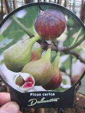 Ficus carica 'Dalmatie' - Frucht Feige  -18°C Pflanze 30-50cm Feigenbaum