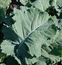 1000 Premier Heirloom Kale Seeds - COMB S/H