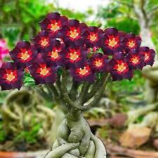 2 Rare Black Brown Adenium Desert Rose seeds Fire Red Heart Flower Bonsai F W2M0