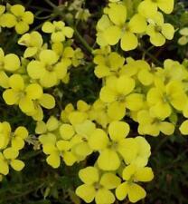 Pack x6 Dwarf Erysimum 'Golden Jubilee' Alpine Evergreen Plug Plants