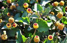 Parakresse Spilanthes oleracea (Acmella oleracea) Heilpflanze Samen VERSAND FREI