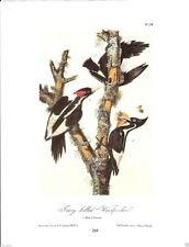 Ivory-Billed Woodpecker Vintage Bird Print by John James Audubon