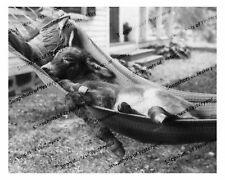 Vintage photo-Donkey_mule_asleep in hammock-8x10 in.