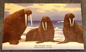 Vintage Linen Postcard Curteich Walrus Group Denver Museum Bering Strait Alaska