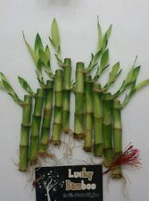 """((BUY 1 GET 1 50% OFF))10 STRAIGHT STALK OF 4"""" LUCKY BAMBOO-FENN SHUI-LIVE PLANT"""