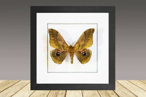 The Japanese giant silkworm, Caligula japonica, Framed moth, real moth