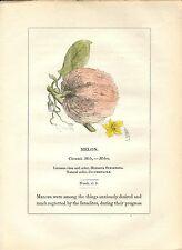 Stampa antica PIANTE DELLA BIBBIA MELONE Cucumis melo 1842 Old antique print