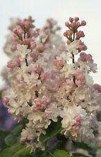 Edelflieder - Syringa vulgaris `BEAUTY OF MOSCOW´ mehrtr. Busch, Höhe: 60-100 cm