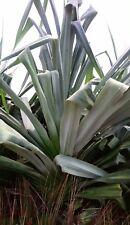 Pandanus Palm, Screwpine- Pandanus tectorius