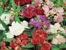 Camelia Flowered Mix Balsam Seeds Non GMO Hardy Annual (100 Seeds) Impatiens