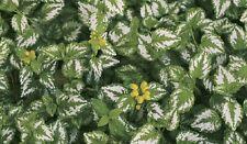 Schneller Bodendecker mit dekorativen Laub 10 Pflanzen
