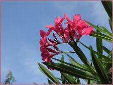 25 Graines de Laurier à Fleurs Roses Méthode BIO Seeds jardin plante décorative