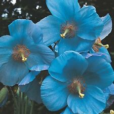 New listing Blue Poppy Flower Seeds - Beautiful - Bulk - 100 Seeds