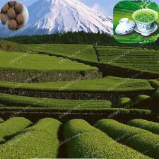 New Crop Chinese Green Tea Tree Seeds Fresh Camellia Sinensis Seeds Green Tea