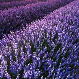 2 x Echter Lavendel - Lavandula Angustifolia winterharte und robusteste Sorte