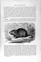 Original Old Antique Print Natural History 1894-95 Cane-Rat Octodont Tribe 19th