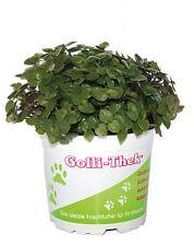 3 Stück Golliwoog Futterpflanze für Vögel Säuger und Reptilien Bartagamen