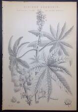 RICINUS COMMUNIS Plant Seed Bulb Flower 1885 Antique Original Print