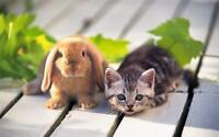 KITTEN & BUNNY BUDDIES GLOSSY POSTER PICTURE PHOTO cat rabbit friends cute 815