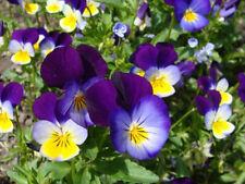 Viola Tricolor Seeds Johnny Jump Up Violet Flower, Perennial, 50+ seeds
