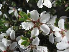 Leptospermum grandiflorum  -Autumn Teatree 20+ seeds