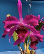 Cattleya purpurata (Sanguinea X Rubra) X Striata 5� Pot Bloom Size Sheath (15)