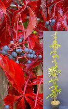 PARTHENOCISSUS QUINQUEFOLIA v18  pianta plant Vite americana Virginia creeper