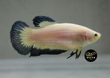LIVE BETTA FISH FEMALE MARBLE BLUE RIM WHITE SNOW BI COLOR HMPK (PKM83)