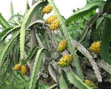 Yellow Dragon Fruit 10 Fresh Seeds Yellow Pitaya, Rare Selenicereus Megalanthus