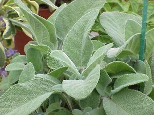 2 gr Salvia Officinalis (S)