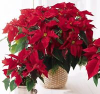 100Pcs Poinsettia Euphorbia Flower Seeds Rare 6 Kind Color Perennial Bonsai Home
