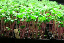 Radish, China Rose Microgreens Seeds 4 Oz Organic micro green Sprouts Heirloom